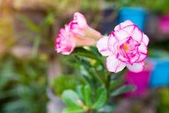 Παραλλαγή Adenium στο ασιατικό ροζ Στοκ φωτογραφίες με δικαίωμα ελεύθερης χρήσης