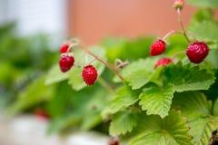 Παραδοσιακές φράουλες Στοκ φωτογραφίες με δικαίωμα ελεύθερης χρήσης