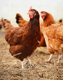 Παραδοσιακή ελεύθερη καλλιέργεια πουλερικών σειράς στοκ φωτογραφία με δικαίωμα ελεύθερης χρήσης