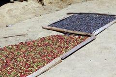 Παραδοσιακή ξήρανση καφέ μετά από τη συγκομιδή στοκ εικόνα