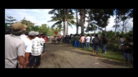 Παραδοσιακή φυλή αγελάδων του Μπαλί απόθεμα βίντεο