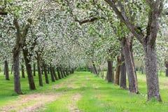 Παραδοσιακός οπωρώνας μήλων στο άνθος Στοκ φωτογραφία με δικαίωμα ελεύθερης χρήσης