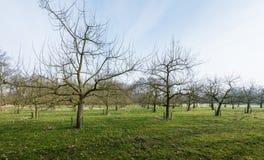 Παραδοσιακός οπωρώνας με τα μισά τυποποιημένα δέντρα κερασιών Στοκ φωτογραφίες με δικαίωμα ελεύθερης χρήσης