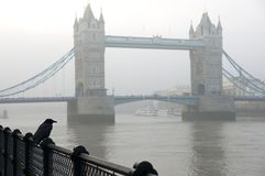 Παραδοσιακό κοράκι του Λονδίνου που στέκεται μπροστά από τη γέφυρα πύργων Στοκ Φωτογραφία