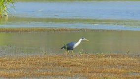 Παρδαλά κυνήγια ερωδιών στα shallows του πουλιού billabong φιλμ μικρού μήκους