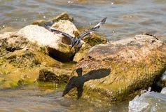 Παρδαλή αλκυόνη κατά την πτήση, με την καλή αντανάκλαση των φτερών σε έναν βράχο στη λίμνη Στοκ Εικόνα