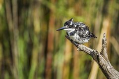 Παρδαλή αλκυόνη στο εθνικό πάρκο Kruger, Νότια Αφρική Στοκ φωτογραφίες με δικαίωμα ελεύθερης χρήσης