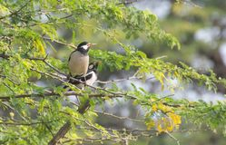 Παρδαλό αγιοπούλι ή ασιατικό παρδαλό ψαρόνι Gracupica ενάντιο στοκ φωτογραφία με δικαίωμα ελεύθερης χρήσης