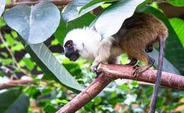 Παρδαλό tamarin Saguinus δίχρωμο σε ένα δέντρο στοκ φωτογραφία με δικαίωμα ελεύθερης χρήσης