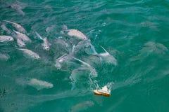 Παροξυσμός σίτισης ενός σχολείου των ψαριών στα θερμά τυρκουάζ νερά της καραϊβικής θάλασσας από την ακτή των Μπαχαμών στοκ φωτογραφία με δικαίωμα ελεύθερης χρήσης