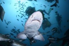 Παροξυσμός σίτισης των σχολείων του ενωμένου καρχαρία κυνηγόσκυλων στα μπλε νερά της Ιαπωνίας στοκ φωτογραφία