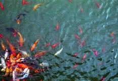 Παροξυσμός Goldfish σίτισης σε μια λίμνη στοκ εικόνες