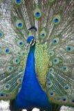 παρουσίαση 14 peacock Στοκ Εικόνες
