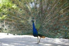 παρουσίαση 2 peacock Στοκ φωτογραφίες με δικαίωμα ελεύθερης χρήσης