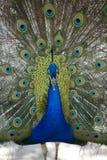 παρουσίαση 3 peacock Στοκ εικόνες με δικαίωμα ελεύθερης χρήσης