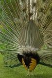 παρουσίαση peacock οπισθοσκό&pi Στοκ φωτογραφία με δικαίωμα ελεύθερης χρήσης