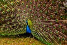 παρουσίαση peacock της ουράς Στοκ Φωτογραφίες