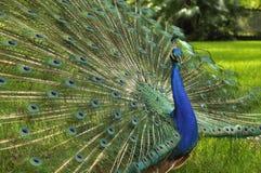 παρουσίαση peacock Στοκ φωτογραφία με δικαίωμα ελεύθερης χρήσης