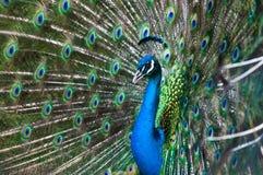παρουσίαση peacock Στοκ Εικόνες