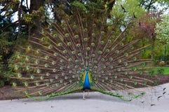 παρουσίαση peacock Στοκ εικόνες με δικαίωμα ελεύθερης χρήσης