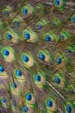 παρουσίαση peacock Στοκ Φωτογραφίες