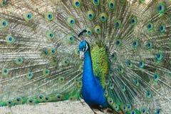 Παρουσίαση Peacock Στοκ Φωτογραφία