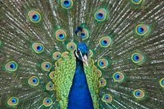 παρουσίαση peacock Στοκ φωτογραφίες με δικαίωμα ελεύθερης χρήσης