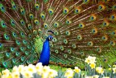 παρουσιάζει peacock Στοκ εικόνα με δικαίωμα ελεύθερης χρήσης