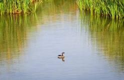 Παρδαλός που τιμολογείται grebe στο νερό Στοκ Φωτογραφία