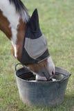 Παρδαλό άλογο σε μια μάσκα μυγών, πόσιμο νερό Στοκ φωτογραφία με δικαίωμα ελεύθερης χρήσης