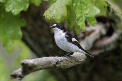 Παρδαλό flycatcher, hypoleuca Ficedula Στοκ Εικόνα