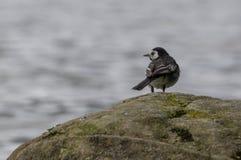 Παρδαλό Wagtail στο βράχο Στοκ Εικόνα