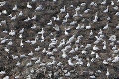 Πασπαλίζοντας με ψίχουλα αποικία του βόρειου bassanus Morus gannets στοκ φωτογραφία με δικαίωμα ελεύθερης χρήσης