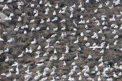 Πασπαλίζοντας με ψίχουλα αποικία του βόρειου bassanus Morus gannets στοκ εικόνα με δικαίωμα ελεύθερης χρήσης