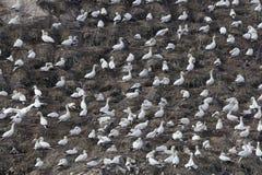 Πασπαλίζοντας με ψίχουλα αποικία του βόρειου bassanus Morus gannets στοκ φωτογραφίες