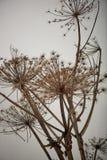 Παστινάκη αγελάδων σε ένα ουδέτερο υπόβαθρο ξηρά λουλούδια Επικίνδυνες δηλητηριώδεις εγκαταστάσεις Στοκ Φωτογραφίες