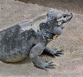 παστό λατινικό όνομα iguana cyclura cornuta Στοκ Εικόνες