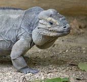 παστό iguana 3 Στοκ Φωτογραφία