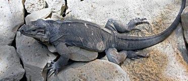 Παστό iguana Στοκ φωτογραφίες με δικαίωμα ελεύθερης χρήσης