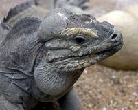 Παστό iguana 5 Στοκ φωτογραφία με δικαίωμα ελεύθερης χρήσης