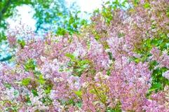 πασχαλιά λουλουδιών αν&a Στοκ εικόνα με δικαίωμα ελεύθερης χρήσης