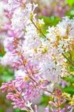 πασχαλιά λουλουδιών αν&a Στοκ Εικόνες