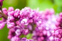 πασχαλιά λουλουδιών αν&a Στοκ φωτογραφίες με δικαίωμα ελεύθερης χρήσης