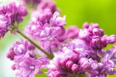 πασχαλιά λουλουδιών αν&a Στοκ εικόνες με δικαίωμα ελεύθερης χρήσης