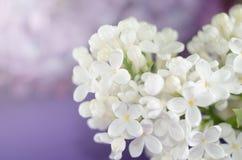 πασχαλιά λουλουδιών Πορφυρά και άσπρα λουλούδια άνοιξη σε μια γκρίζα πέτρα surgace λεπτομερές ανασκόπηση floral διάνυσμα σχεδίων στοκ εικόνες με δικαίωμα ελεύθερης χρήσης