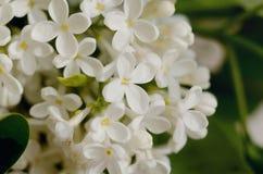 πασχαλιά λουλουδιών Πορφυρά και άσπρα λουλούδια άνοιξη σε μια γκρίζα πέτρα surgace λεπτομερές ανασκόπηση floral διάνυσμα σχεδίων στοκ φωτογραφία με δικαίωμα ελεύθερης χρήσης