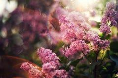 Πασχαλιά στον ήλιο πρωινού με το έντονο φως και το όμορφο bokeh στοκ εικόνες με δικαίωμα ελεύθερης χρήσης