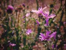 πασχαλιά λουλουδιών Στοκ εικόνα με δικαίωμα ελεύθερης χρήσης