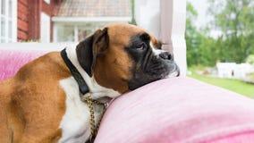 Πατάτα καναπέδων - τρυπημένο σκυλί σε έναν ρόδινο καναπέ Στοκ Εικόνες
