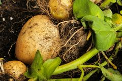 Πατάτα που συγκομίζεται από έναν εγχώριο κήπο Στοκ εικόνες με δικαίωμα ελεύθερης χρήσης